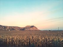 cornfield photos stock