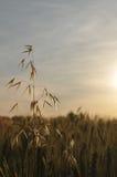 cornfield Στοκ εικόνες με δικαίωμα ελεύθερης χρήσης