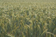 Cornfield. Landscape with big cornfield and yellow, green colors Royalty Free Stock Photos