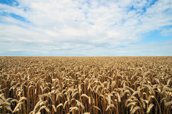 Cornfield. A cornfield with sun and clouds Royalty Free Stock Photography