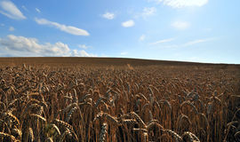 Cornfield. A cornfield with sun and clouds Royalty Free Stock Image
