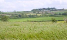 Cornfield stock fotografie