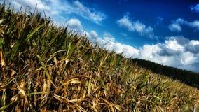 cornfield photographie stock