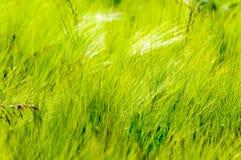 cornfield photo stock