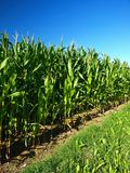 Cornfield. A cornfield with a blue sky stock images