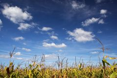 Cornfield. Green cornfield and blue sky Stock Photography