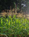 Cornfield. With ripe corn crop in early morning light stock image