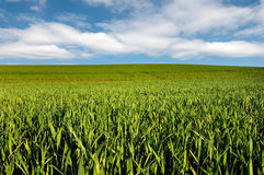 Cornfield. A cornfield with drops on the leaves Stock Photo