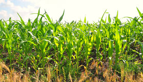 Cornfield. Young corn field under the summer sky Stock Image