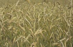 cornfield Στοκ εικόνα με δικαίωμα ελεύθερης χρήσης