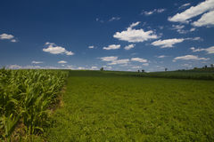 Cornfield. In the State of Indiana with part cloudy sky royalty free stock images