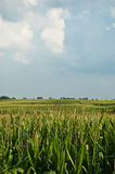 Cornfield. A look over the top of a crop of corn growing where rows and rows of crops climb a hill in Springfield, Ohio Royalty Free Stock Photography