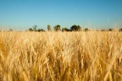 cornfield Στοκ φωτογραφίες με δικαίωμα ελεύθερης χρήσης