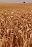 cornfield Royaltyfria Bilder