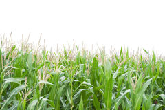Cornfield. Isolated on white background stock photography