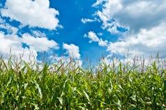 cornfield Arkivbild