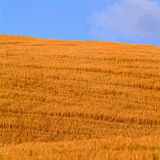 Cornfield. A roomy cornfield in the tuscany and blue sky royalty free stock photography