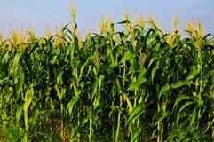 cornfield 2 Royaltyfria Bilder