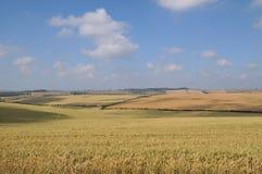 Cornfield 2. Summer scene of cornfield near Dorchester Dorset Stock Image