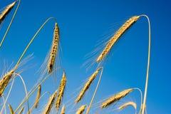cornfield fotografering för bildbyråer
