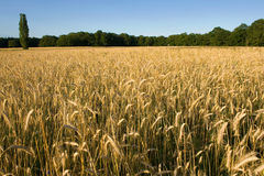 cornfield royaltyfria foton