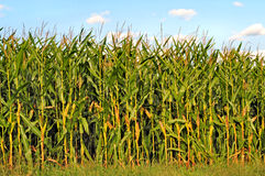 Cornfield. Image of a cornfield against a blue sky Stock Photo