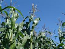 cornfield στοκ φωτογραφία με δικαίωμα ελεύθερης χρήσης