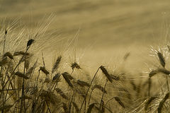 Cornfield. Ear of wheat in field Stock Photo