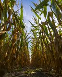 In a cornfield. Rows of corn in a cornfield stock photos