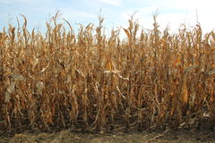 Cornfield Stock Photography