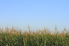 Cornfield Royalty Free Stock Image