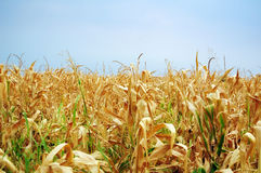 Cornfield. During the dryness summer stock photography