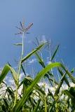 cornfield Arkivfoto