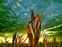 cornfield Στοκ Φωτογραφίες