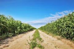 cornfield Immagine Stock