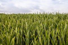 cornfield Stock Foto