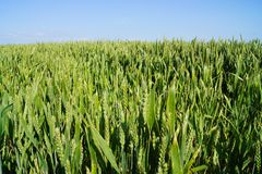 cornfield Fotos de Stock
