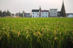 cornfield Royalty-vrije Stock Foto