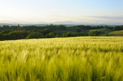 cornfield Imagem de Stock Royalty Free