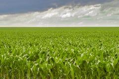 cornfield Immagine Stock Libera da Diritti