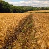 cornfield Fotografia de Stock