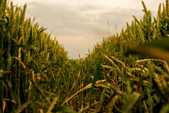 Cornfield. A Corn field in the sunset stock photography