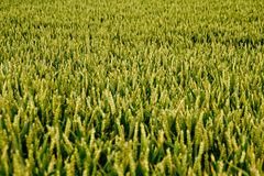 Cornfield. Details of a Corn field Stock Photo