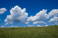 Cornfield. In Slovakia in June Royalty Free Stock Images