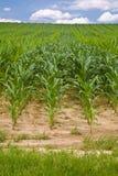 cornfield Στοκ Εικόνα