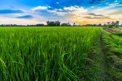 cornfield Fotografia Stock
