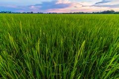 cornfield Fotografie Stock