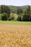 Cornfield. French corn field in summer royalty free stock images