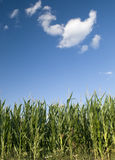 Cornfield. With blue sky and clouds Stock Photos