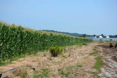 cornfield Stock Afbeelding